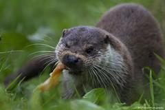 _MG_0004 (ChantelleHarper) Tags: uk food fish face mammal cornwall european feeding britain eating wildlife small whiskers otter chew british captive crunch sanctuary launceston europeanotter