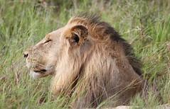 Male lion in the grass (Derek Keats) Tags: nature southafrica wildlife krugernationalpark letaba
