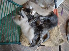 DSC04295 Os cinco gatinhos dormindo na cadeira do jardim (Johannes J. Smit) Tags: cat kat chat gato katze gatto