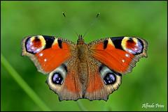 Inachis io (alfvet) Tags: macro nikon ngc butterflies natura npc insetti farfalle sigma150 parcodelticino d5200