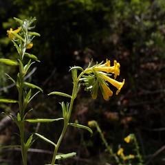 Lithospermum multiflorum, manyflowered stoneseed 8 (Sue Carnahan) Tags: arizona boraginaceae cochiseco huachucamtns