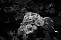 Jack Frost (StephanieMcArthur) Tags: blackandwhite bw nature leaves garden 123nature