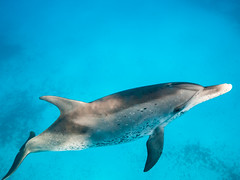 Return from The Blue (altsaint) Tags: underwater dolphin panasonic bahamas bimini cetacean gf1 714mm atlanticspotteddolphin stenellafrontalis