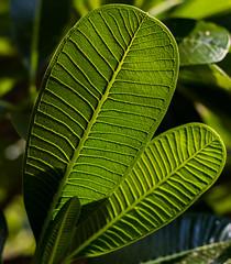 Vains of life (ReDnAx1991) Tags: botanic lalbagh bengaluru bangalore india canon80d 80d canon garden bonsai leaves vains