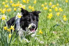 12/52 ... spring collie ... (neurosheep) Tags: omdweek122017 52weeksfordogs bordercollie drift
