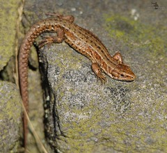 Viviparous lizard big moor (1) (Simon Dell Photography) Tags: viviparous lizard common uk wild wildlife nature reptiles longshaw estate peak district national park nt trust moors valleys landscape views spring summer simon dell photography 2017 big moor macro awsome cute small tiny orange green xxx sheffield old new sd