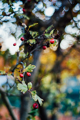 the Autumn galaxies IV (culuthilwen) Tags: sonyalpha230 supertakumar takumar35mmf2 takumar35mm takumar vintagelens bokeh leaves berries dof fall autumn foliage m42 f2 35mm nature