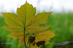 Blatt (iriswill162) Tags: blatt nature leav
