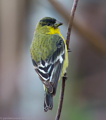 Lesser goldfinch (pandeesh89) Tags: sanfrancisco california unitedstates us kingbird yelow color small nature fort mason garden sf local evbents weekend walk canon 100400
