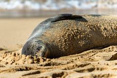 Hawaiian Monk Seal (Neomonachus schauinslandi), Kauai, Hawaii, USA ハワイモンクアザラシ (takasphoto.com) Tags: 80400mmf4556dvr afvrzoomnikkor80400mmf4556ded animal animalia arctoidea arena beach bãibiển caniformia carnivora chordata coast coastal cobblestones d610 fullframe grava gravel hawaiianmonkseal landform lens mammalia mar mare mer nschauinslandi nap napping nature neomonachus neomonachusschauinslandi nikkor nikkor80400mm nikkor80400mmf4556dafvred nikkorlens nikon nikond610 ocean oceansea oceano outdoor pebbles phocidae pinniped pinnipedia pinnipedimorpha pinnipède pinnípedo plage playa plaża praia płetwonogie rock sand sea seal seals seascape semiaquaticmarinemammal shingle siesta sleep sleeping strand supertelephoto sæler telephoto wild wildlife focafrailehawaiana f ハワイモンクアザラシ アザラシ ハワイ