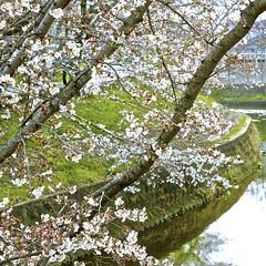 もうすぐそこ。寒い季節も手を取り合った、大切な人と今年の桜を。 (aozora.umikaze) Tags: japan nara taisetsu sahogawa hanasaku sakura kotoshi olympus sugusoko issyo aozora epl3