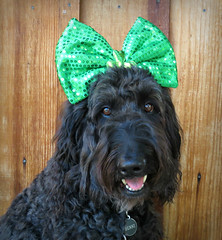 Happy St. Patrick's Day from Benni and Me (Bennilover) Tags: dog labradoodle stpatricksday green benni bennigirl holiday celebrate fun irish bows headbands bow posing eyes whiskers dogs