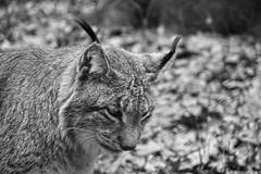 Predator (nyanc) Tags: eurasianlynx lynx lynxlynx predator carnivore europe animal bw blackandwhite blackwhite d5200 dier europa flickr monochrome nikon duitsland germany wildpark outdoor outside prime travel zwartwit