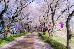 _DSC4458 (sayo-tsu) Tags: sakura cherryblossom saitama gongendopark sattecity 桜 お花見 権現堂 埼玉県