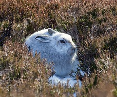 Mountain Hare (malcolmmartin1211) Tags: