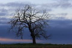 Westbrook Tree (Explore 18/03/17) (Alan McIntosh Photography) Tags: tree nature silhouette lonely landscape westbrook toowoomba