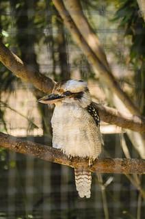 Laughing kookaburra 1108
