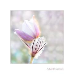 Snow white-Pulsatilla vernalis (BirgittaSjostedt) Tags: flower closeup plant pulstailla pulsatillavernalis rare beauty bright photoborder macro birgittasjostedt texture frame magicunicornverybest