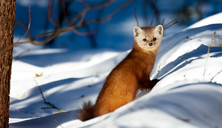 Pine Marten Searching for Food
