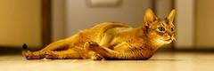 I just don't... (edited) (DizzieMizzieLizzie) Tags: abyssinian aby beautiful wonderful lizzie dizziemizzielizzie portrait cat chats feline gato gatto katt katze katzen kot meow mirrorless pisica sony sonnar a6500 za zeiss