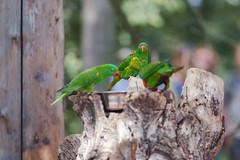 Prague zoo 5 (Radomir Cernoch) Tags: prague zoo animal parrot czechia czechrepublic loriini lorikeets lories