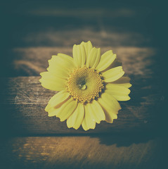 Margarita (Monica Fiuza) Tags: margarita daisy amarillo yellow redondo round flor flower