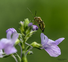 Bug-On-A-Flower (Man In The Woods) Tags: macro insect arkansas wildflower ozarks
