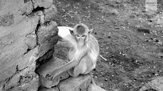 Lopburi (desomnis) Tags: travel animal fauna thailand monkey asia wildlife animales traveling lopburi affe littlemonkey