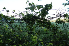 Green Vine on Fence (marylea) Tags: morning green fence landscape vine may25 ilovegreen 2013