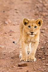 Lion Cubs (2 of 2).jpg (lknight_1) Tags: southafrica lion cubs kruger lioncubs singita