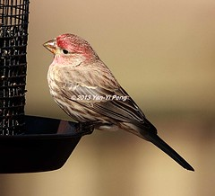 House-finch-adult-male_2899 (Warbler_King) Tags: finches housefinch illinoisbirds housefinchadultmale