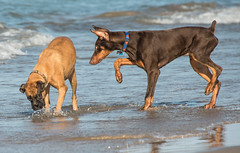 MDB 48 (Jan Crites) Tags: chicago illinois beach lake lakemichigan harbor montroseharbor dogs canine dogbeach montrosedogbeach playing running splashing sunny nikon d600