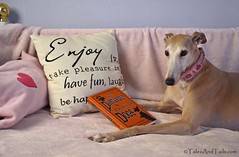 Required Reading (houndstooth4) Tags: dog greyhound bunny day168 odc day168365 3652013 dogchal 365the2013edition 17jun13