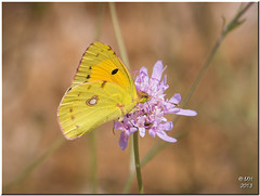 Clouded Yellow (Maria-H) Tags: butterfly islands panasonic greece kefalonia ionian 100300 coliascroceus cloudedyellow gh3 dmcgh3