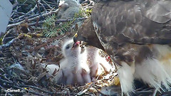 feedingD (Cornell Lab of Ornithology) Tags: red bird big nest feeding hawk cam cams cornell ithaca hawks redtailedhawk nestlings ithacany cornelllabofornithology
