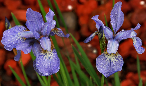 Japanese Irises Kissed By Rain