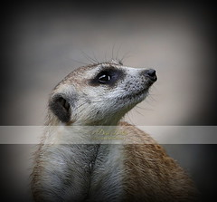 Merely a Meerkat (Debi Dalio) Tags: portrait nature animal animals mammal photography meerkat wildlife mammals