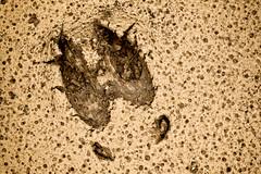 Jlki (rikhard.kuutti) Tags: brown color colour animal sepia contrast reindeer high track mud lion tan camel rough umber imprint russet earthtone shadesofbrown rawumber rangifertarandus chamoisee