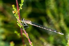 Hej hej (ackamann) Tags: nikon braun makro libelle damselfly d7100 becherjungfer