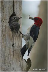 """Another year done... (Earl Reinink) Tags: woodpecker nikon nest niagara earl redheadedwoodpecker nikond4 earlreinink reinink"""" 201308260087"""