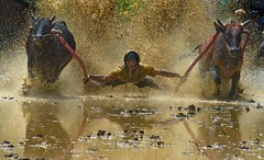 s 24Aug2013 Pacu Jawi AT DSC_9418 (Andrew JK Tan) Tags: speed indonesia energy mud action racing bulls padang splashes bullracing westsumatera pacujawi