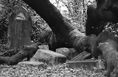 Graves crushed by fallen tree (dogrando) Tags: blackandwhite cemetery ruins trix goth 400tx nikonfm2 nunhead nunheadcemetery ruinedcemetery brokenstatuary