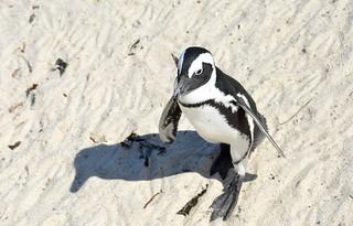 African Penguin 9