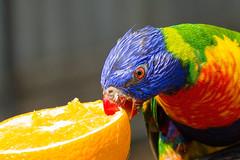 orange color colour bird fruit canon zoo lorikeet parrot rainbowlorikeet huntervalleyzoo canon7d