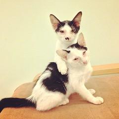 ก็แค่ พี่น้องอยากถ่ายรูปคู่กันบ้างอะไรบ้าง #cute #thai #siam #siamese #cat #cats #kitty #kitten #kittens #sleep #แมว #ลูกแมว #ไทย #สยาม #น่ารัก #นอน #udoncat #udon #udonthani #แมวอุดร #อุดร #อุดรธานี #ilovecat #ฉันรักแมว