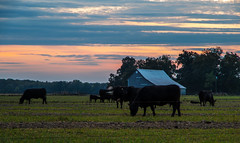 Peace (ramseybuckeye) Tags: county sunset ohio sky black barn fence allen cattle cows pentax angus gray grazing spencerville k30