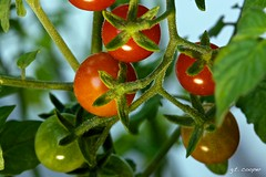 Cherry Tomatos (cooper.gary) Tags: red food green canon garden tomato cherry salad branch vine vegetable cooper growing organic kuper 5dmarkii kuperimages gtkuper