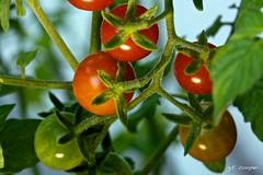 Cherry Tomatos (cooper.gary) Tags: 5dmarkii branch canon cherry cooper food garden green growing organic red salad tomato vegetable vine kuper kuperimages gtkuper