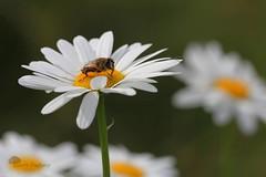 David et Goliath (photosenvrac) Tags: macro fleur photo bokeh lumire printemps paquerette insecte mouche thierryduchamp