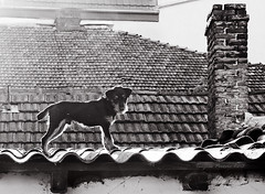 Chimney Keeper. Tanjica Perovic Photography. (Tanjica Perovic) Tags: dog animal roof blackandwhite chimney terrier look eyes pirotserbia sigma1770mmf2845dcmacro canoneos400d tanjicaperovicphotography thelittledoglaughed ldlnoir throughherlens